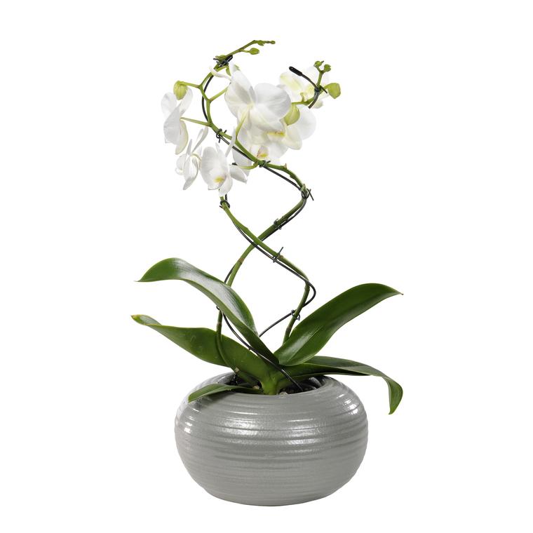 Orchid e phalaenopsis twister 2 br pot 12 cm botanic - Arrosage orchidee en pot ...