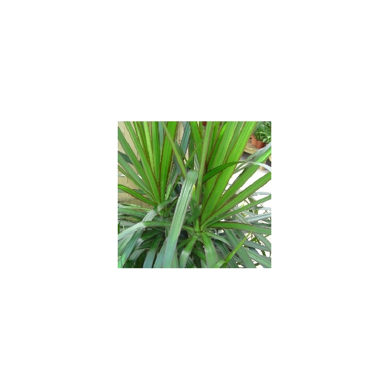 Dracaena marginata plantes vertes maison botanic - Entretien dracaena marginata ...