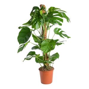 Philodendron pertusum en pot Ø 24 cm 802703