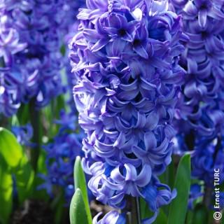 Bulbes de jacinthe botanic® en vrac 805040
