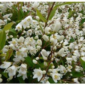 Deutzia blanc - Pot de 3L 809170
