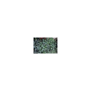 Lierre des Bois Hedera Helix Hibernica vert 150/200 cm en pot de 5 L 836617