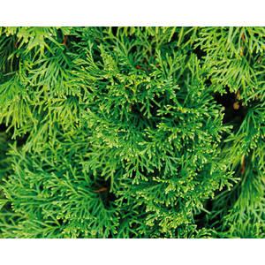 Laurier Cerise (PRUNUS LAUROCERASUS CAUCASICA), en pot de 3 litres