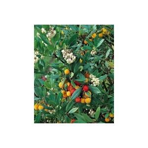 Arbutus Unedo – Pot de 5L 968896