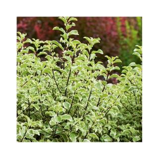 Pittosporum Tenuifolium varié en pot de 5 litres 813418