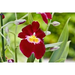 Orchidée Miltoniopsis