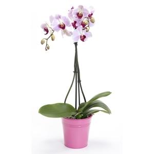 Orchidée Phalaenopsis 2 br + cache pot. Pot 12 cm