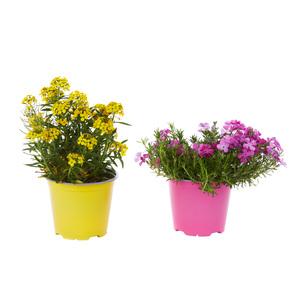 Plantes vivaces variées. Le pot de 1 litre 831320