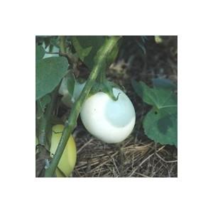 AUBERGINE BLANCHE RONDE A OEUF.Le pot de 10,5 cm
