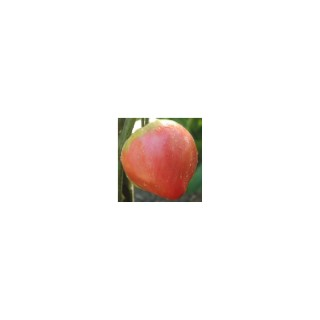 Tomate Cœur - Le pot de 10,5 cm