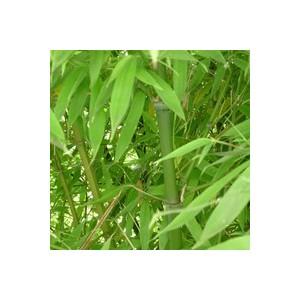 Bambou Phyllostachys Aurea - Pot de 35L 396939