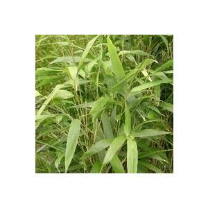 Bambou Arundinaria Metake - Pot de 18L 837149