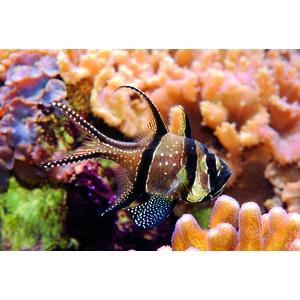 Pterapogon kauderni élevage MM