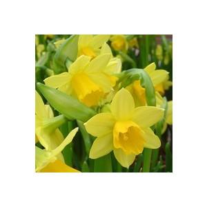 Narcisse tête à tête jaune en verrerie 434771