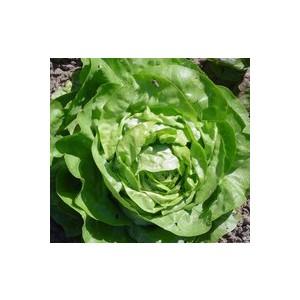 Salades En Mélange. La barquette de 12 plants