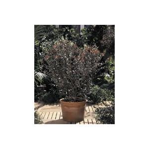 Goyavier Feijoa Sellowiana en pot de 10 L 860133