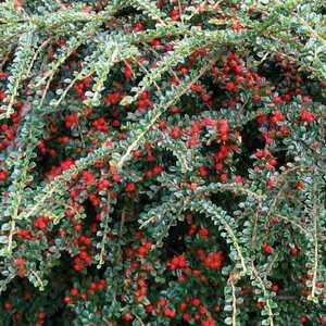 Cotoneaster Green Carpet – Pot de 3L 863367