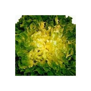 CHICOREE SCAROLE SEANCE.La barquette de 12 plants