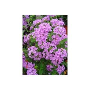 Lantana sellowiana tapissant. Le pot de 1 litre