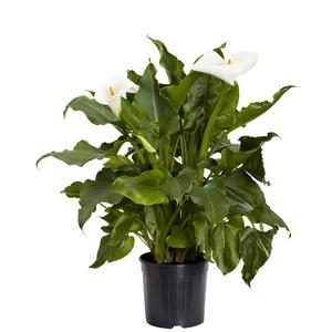 Arum blanc à grandes fleurs. Le pot de 3 litres 882805