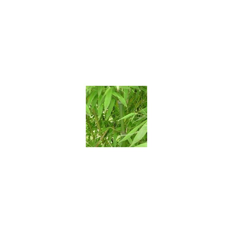 Bambous plantes et jardin botanic for Phyllostachys aurea en pot