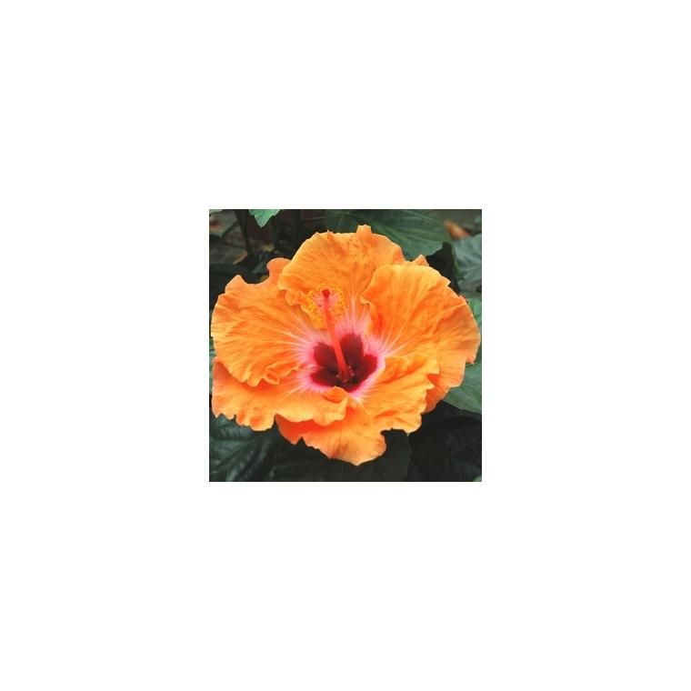 Hibiscus 803065
