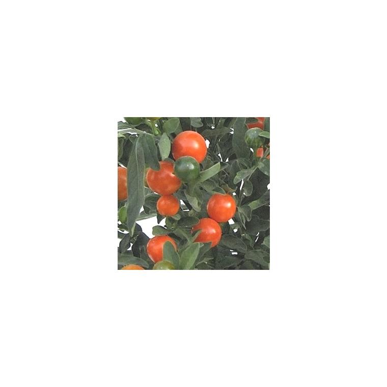 Solanum 803826