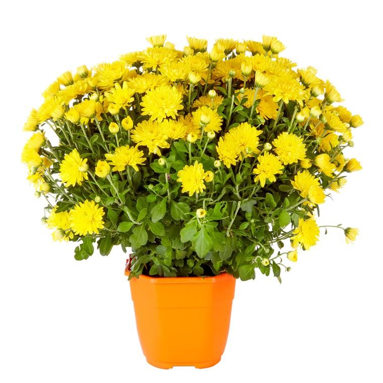 Chrysanthème multifleurs. Le pot de 2,5 litres 809061