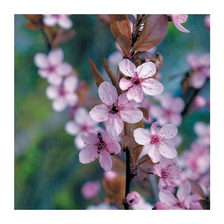 Cerisier du Japon - pot 5 L 809472