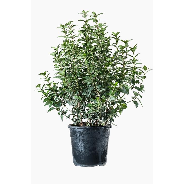 Viburnum Tinus ou Laurier-tin en pot de 9 L 809657