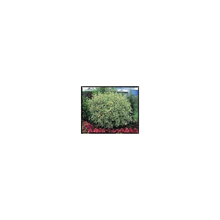 Cornus Alba Argentéomarginata – Pot de 4L 810469