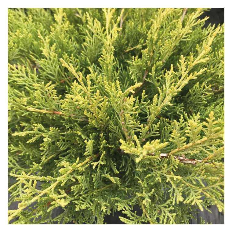Genévrier jaune - Pot de 2L 811410