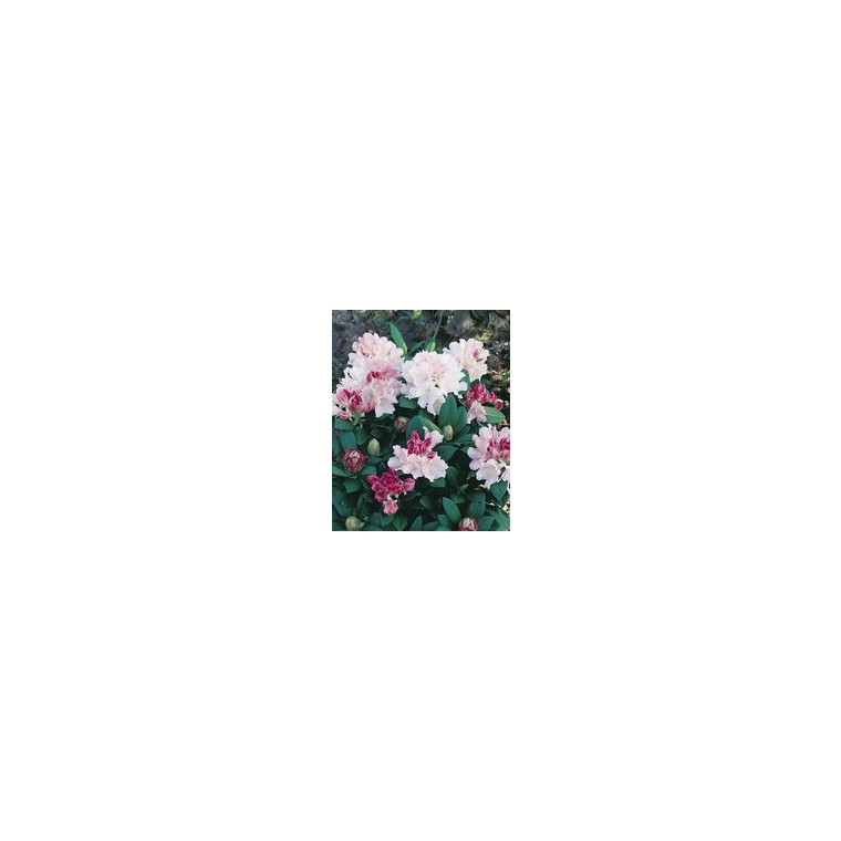 Rhododendron 841437