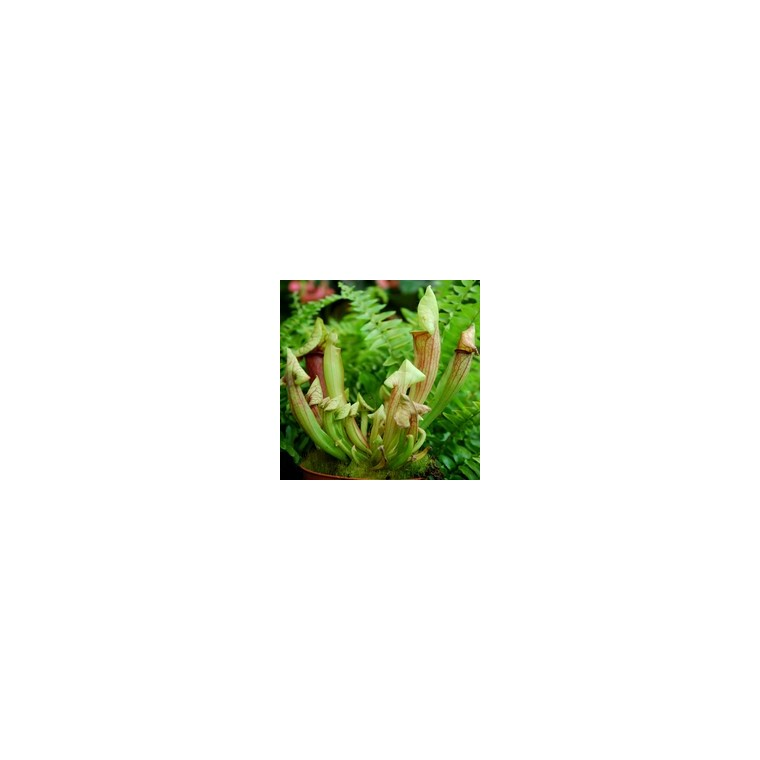 Plante carnivore Sarracenia 923755