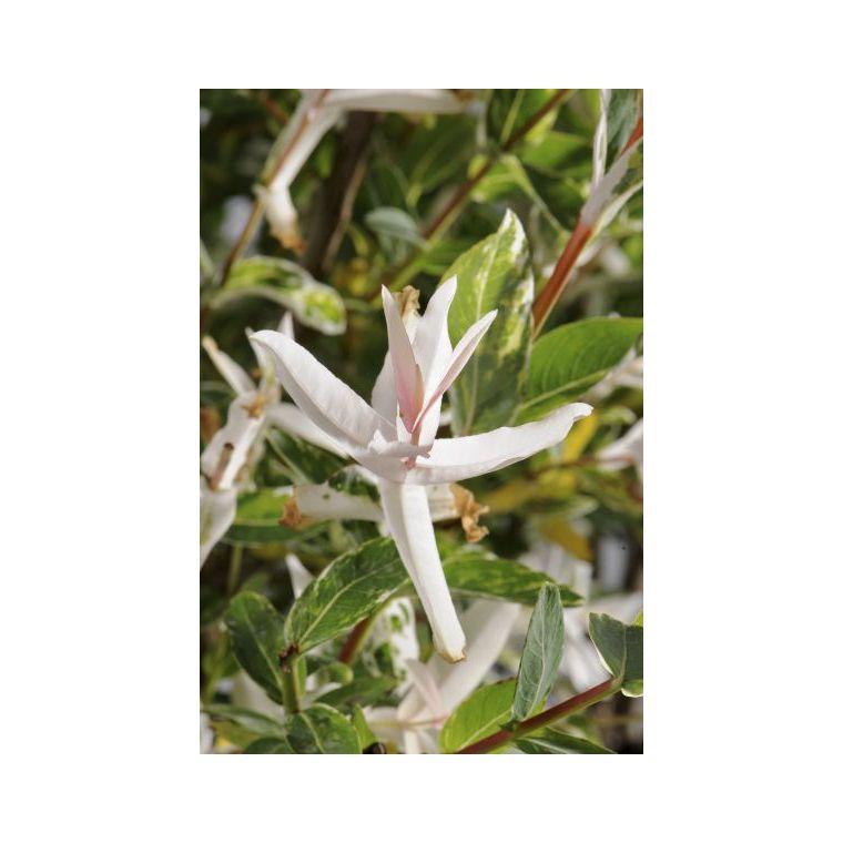 Salix Caprea Pendula ½ tiges - Pot de 7L 825627