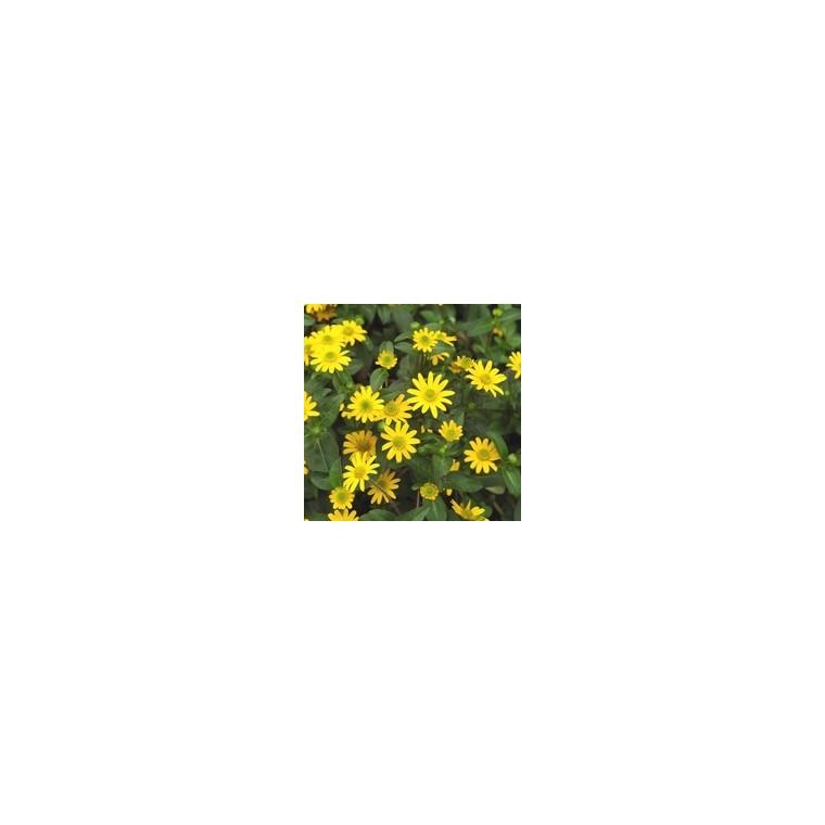 Sanvitalia. Le pack de 6 plants 316479