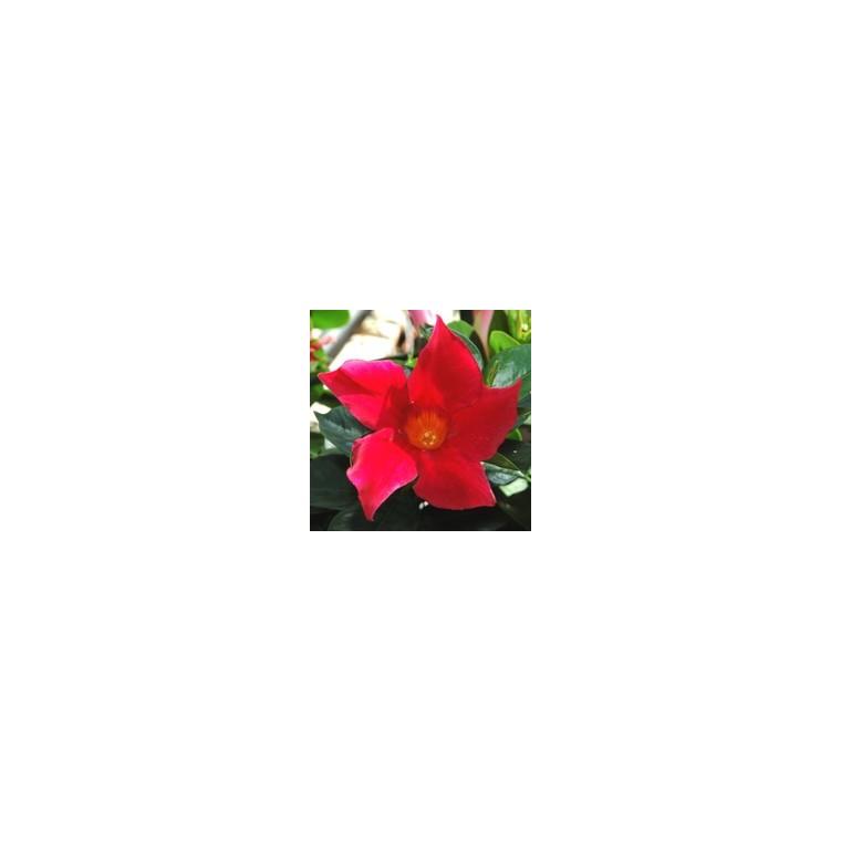 Dipladénia buisson. Le pot de 10,5 cm 489278
