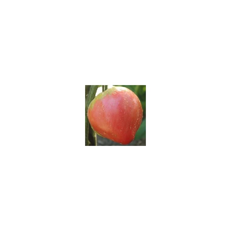 Tomate allongée Coeur de bœuf  Cuor di bue. Le pot compostable de 10,5 cm 41530