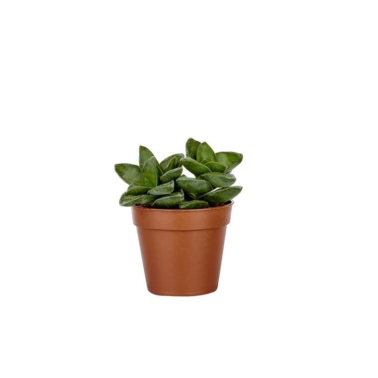 Plante grasse parmi modèles variés en pot Ø 5,5 cm 835729