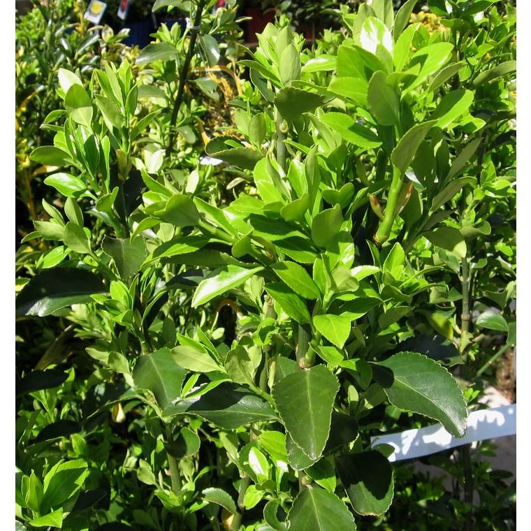 Euonymus Japonicus ou Fusain du Japon vert 40/60 cm en pot de 10 L 836478