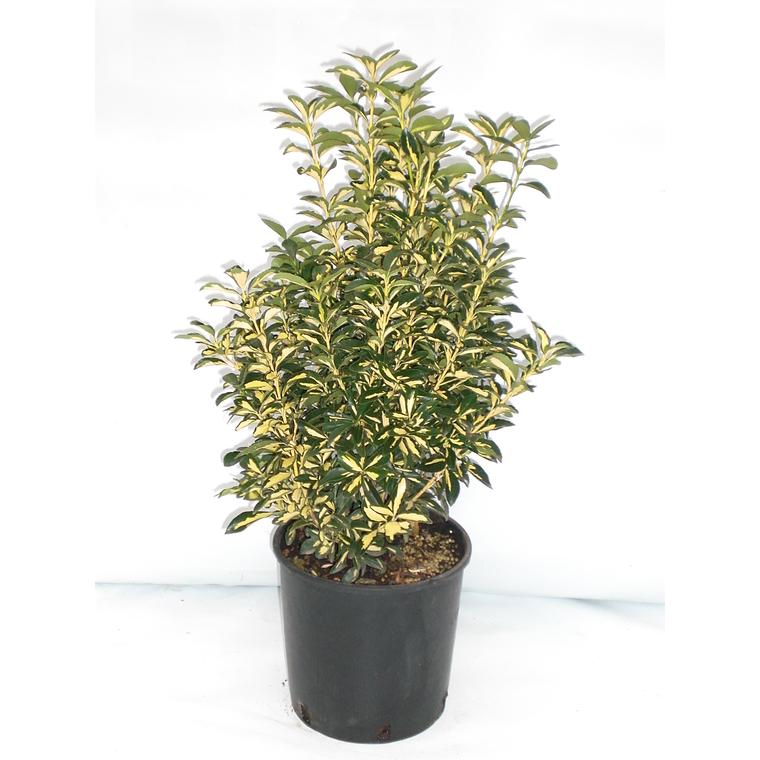 Euonymus Japonicus Aureopictus jaune 50/60 cm en pot de 10 L 836483