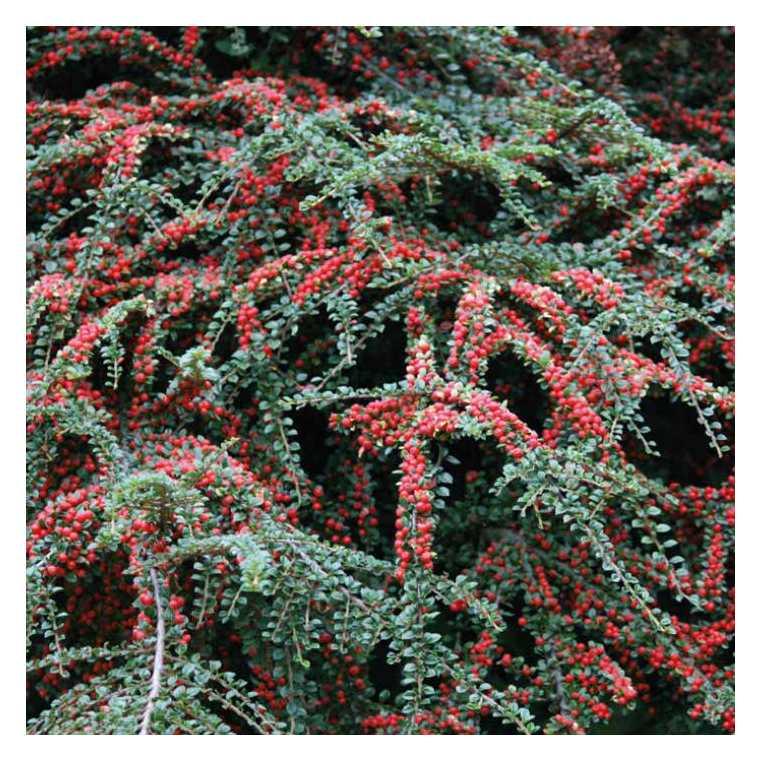 Cotoneaster à baies rouges – Pot de 3L 840984