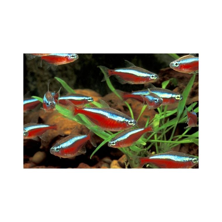 Cardinalis ou Cheirodon Axelrodi bleu et rouge 2 cm 845948