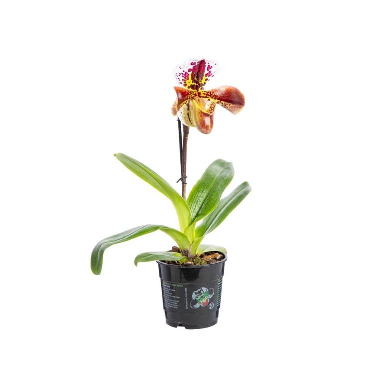 Orchidée Paphiopedilum americain 845999