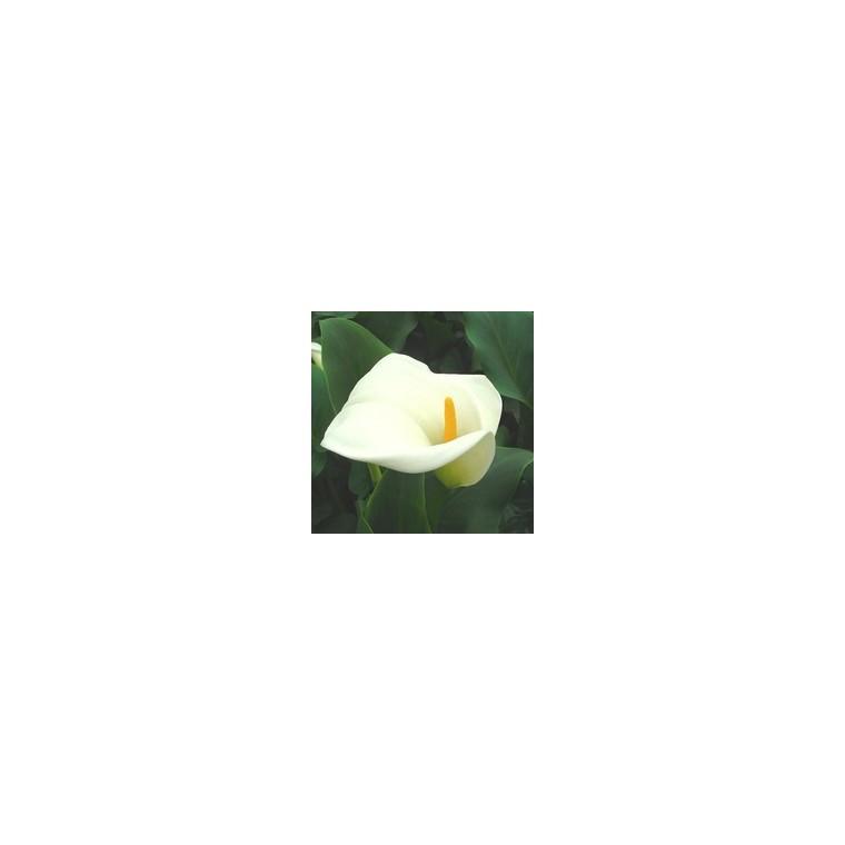 Arum blanc à grandes fleurs. Le pot de 3 litres 851823
