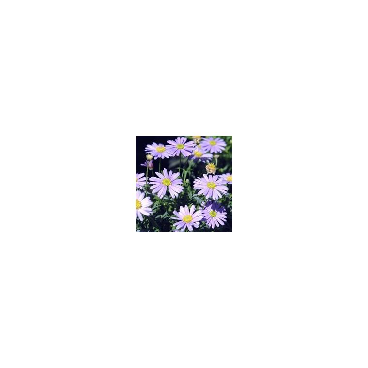 Brachycome. Le pot de 10.5 cm 790832