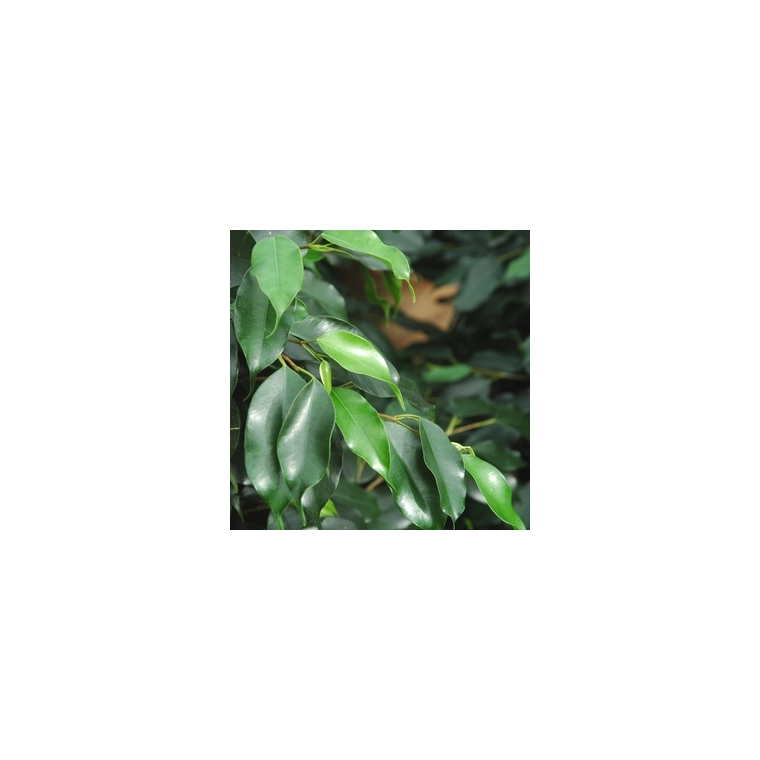 Ficus 120 cm en pot Ø 21 cm 964317