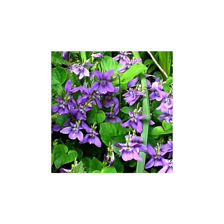 Violette Odorante Bleue. Le pot de 1 litre 467418