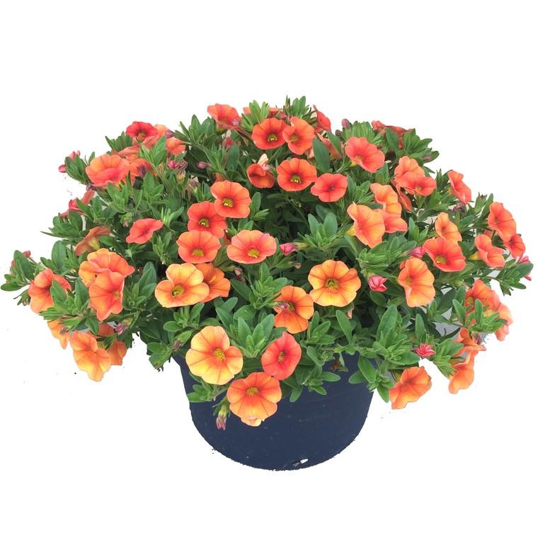 Calibrachoa multicolore. Le pot de 2,5 litres 874114