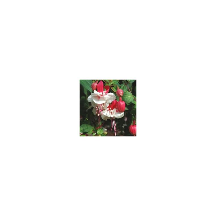 Fuchsia Retombant. Le pot de 10.5 cm 951104